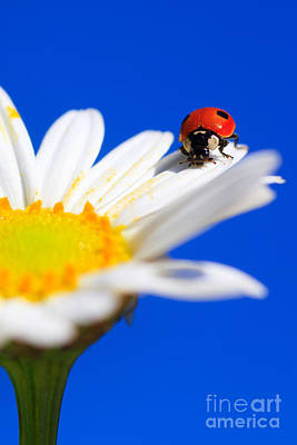 Ladybird On Flower Poster by Patrick Frischknecht