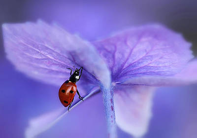 Ladybird On Purple Hydrangea Poster