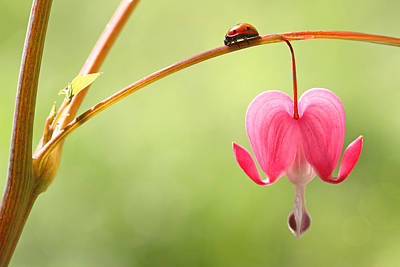 Ladybug And Bleeding Heart Flower Poster