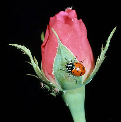 Ladybug Eating Aphids Poster by Nicholas Smythe