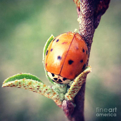 Poster featuring the photograph Ladybug  by Kerri Farley