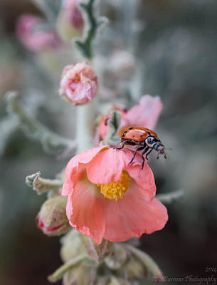 Ladybug On A Globemallow Poster by Aaron Burrows