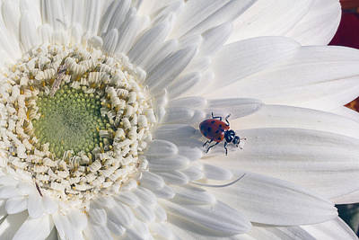 Ladybug On Daisy Petal Poster by Garry Gay