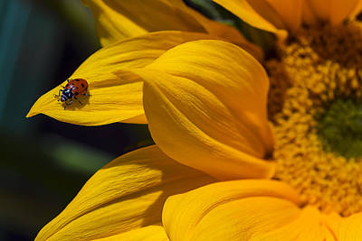 Ladybug On Sunflower Petal Poster by Garry Gay