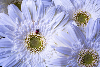 Ladybug On White Daisy Poster by Garry Gay