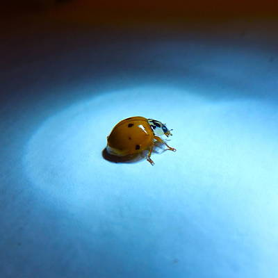 Ladybug Under Blue Light Poster
