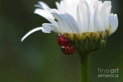Ladybugs On Shasta Daisy Poster