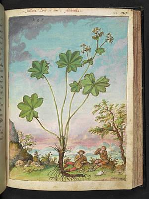 Lady's Mantle (alchemilla Sp.) Poster