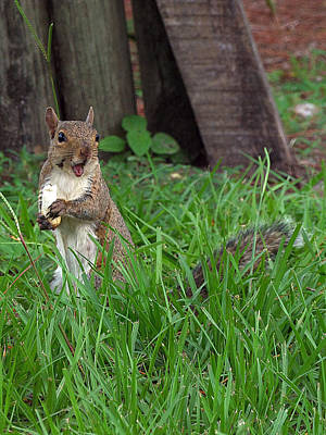 Poster featuring the photograph Lake Howard Squirrel 000 by Chris Mercer
