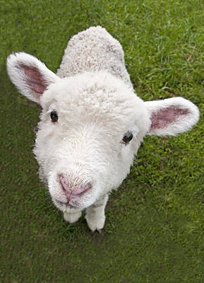 Poster featuring the photograph Lamb by Dennis Cox WorldViews