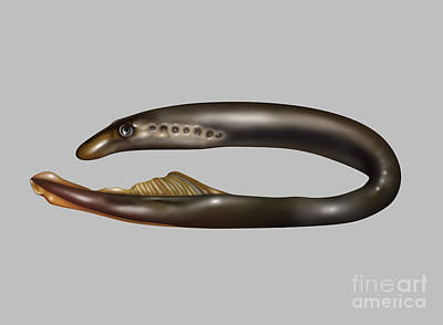 Lamprey Eel, Illustration Poster