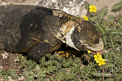 Land Iguana Eating Poster by William H. Mullins