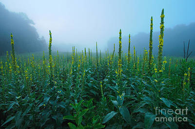 Land Of The Great Mullein - New England Wildflowers Poster by JG Coleman