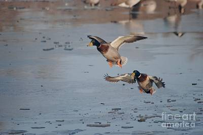 Poster featuring the photograph Landing Mallards by Mark McReynolds