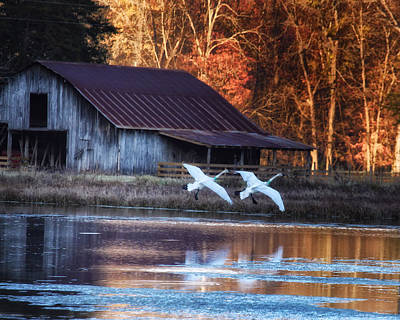 Landing Trumpeter Swans Boxley Mill Pond Poster