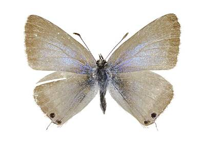 Lang's Short-tailed Blue Butterfly Poster