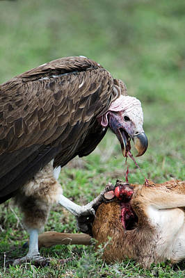 Lappet-faced Vulture Torgos Poster by Panoramic Images