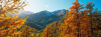 Larch Trees In Autumn At Simplon Pass Poster