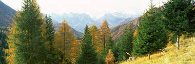Larch Trees With A Mountain Range Poster by Panoramic Images