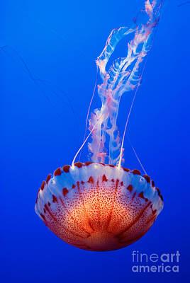 Large Colorful Jellyfish Atlantic Sea Nettle Chrysaora Quinquecirrha  Poster by Jamie Pham