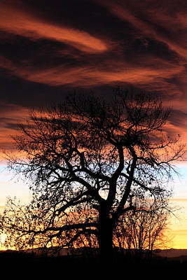 Large Cottonwood At Sunset Poster