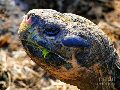 Large Galapagos Giant Tortoise Poster by Al Bourassa