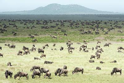 Large Herd Of Wildebeest  Connochaetes Poster