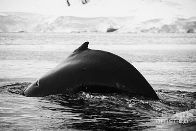 large male Humpback whale with arched back diving in Wilhelmina Bay Antarctica Poster