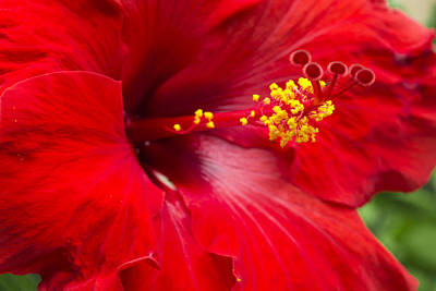 Large Red Hibiscus Poster