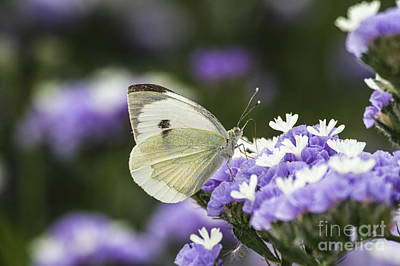 Large White Pieris Brassicae  Poster by Eyal Bartov