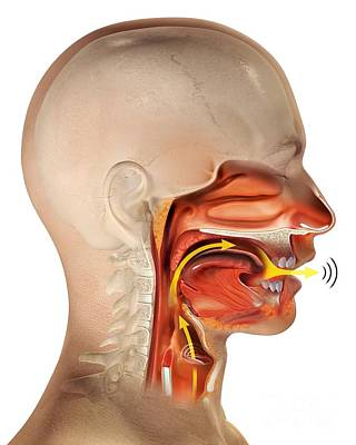 Larynx Anatomy, Artwork Poster