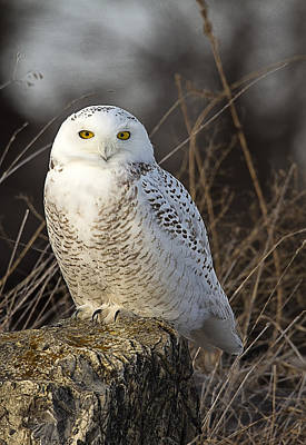 Late Season Snowy Owl Poster