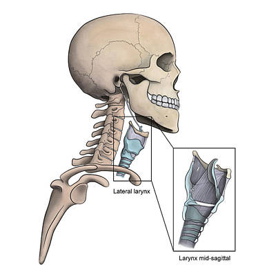 Lateral Larynx And Skeletal Anatomy Poster