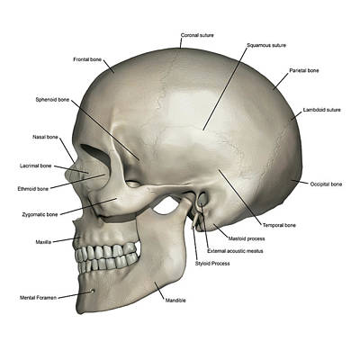 Lateral View Of Human Skull Anatomy Poster