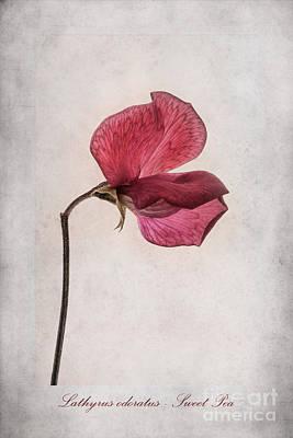 Lathyrus Odoratus - Sweet Pea Poster by John Edwards