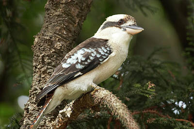 Laughing Kookaburra (dacelo Poster by David Wall