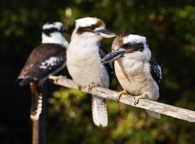 Laughing Kookaburras Poster by Odille Esmonde-Morgan