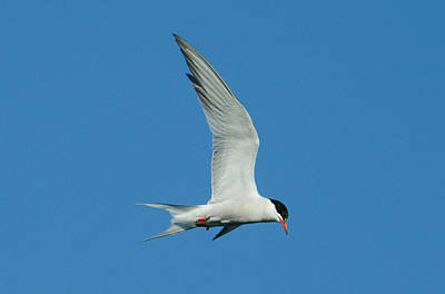 Laughing Tern Poster