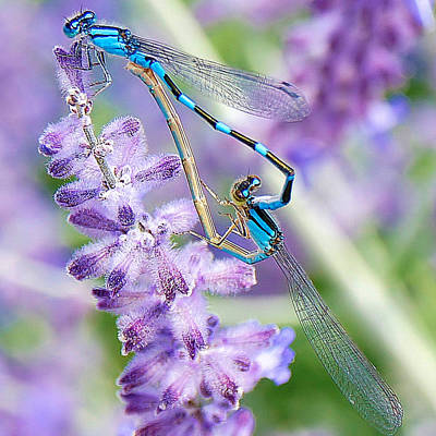 Lavendar And Dragonflies Poster by Carol Toepke