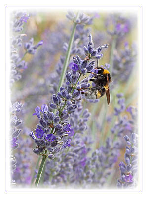 Lavender Bee Poster by Gill Billington