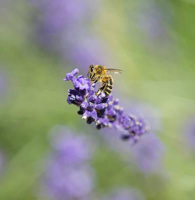 Lavender Buzz Poster