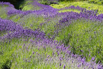 Lavender Day Poster