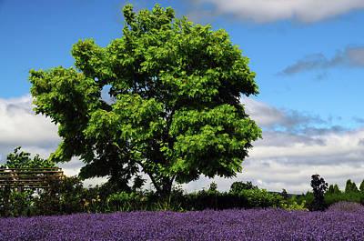 Lavender Festival, Willakenzie Lavender Poster