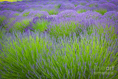 Lavender Field Poster by Inge Johnsson