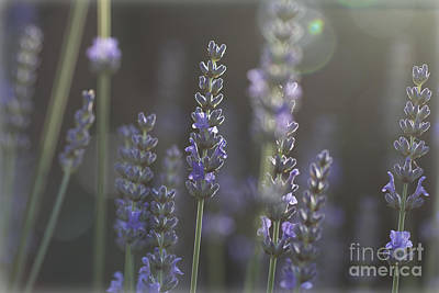 Poster featuring the photograph Lavender Flare. by Clare Bambers