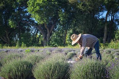 Lavender Harvest Poster