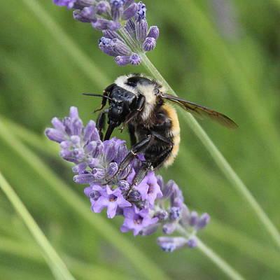 Lavender Honey Bee Poster by Mavis Reid Nugent