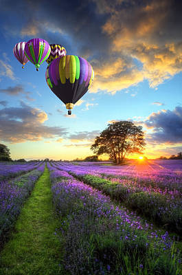 Lavender Leisure Flight Poster by Matthew Gibson