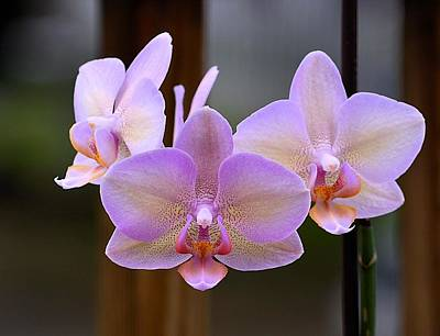 Lavender Orchid Poster by Kathy Eickenberg
