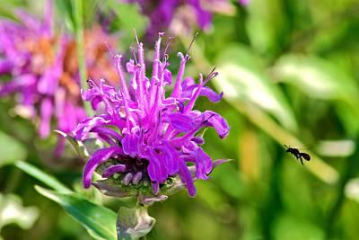 Poster featuring the photograph Lavender Pink Bee Balm Wild Bergamot by Karon Melillo DeVega
